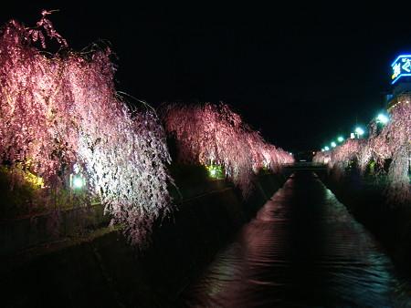 天童市しだれ桜