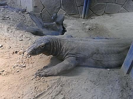 世界最大の毒トカゲ
