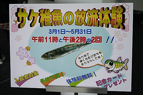 サケ稚魚放流